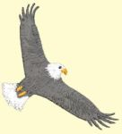flying_eagle_t.jpg
